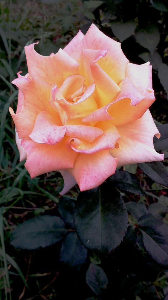 роза данте фото для ведения